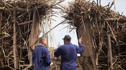 Picture of two workers in a sugar cane field