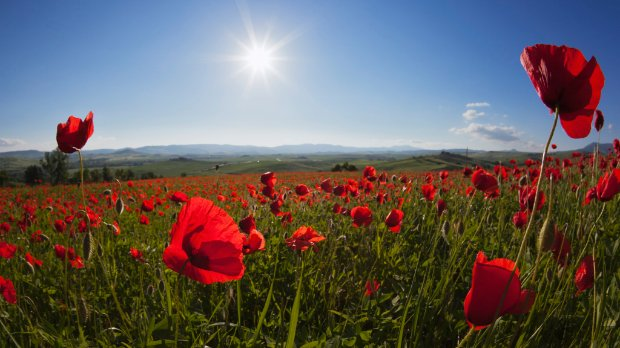 Image of poppies in a field