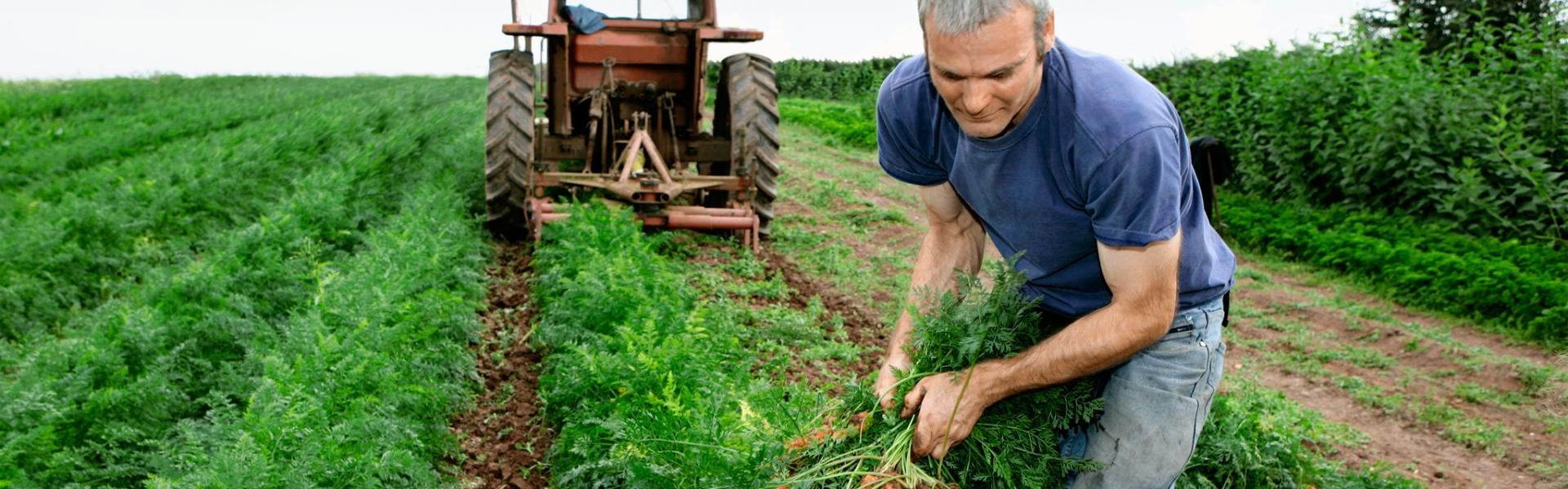 Farmer harvesting vegetables to bring to market