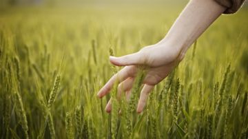 Person touching wheat in a field