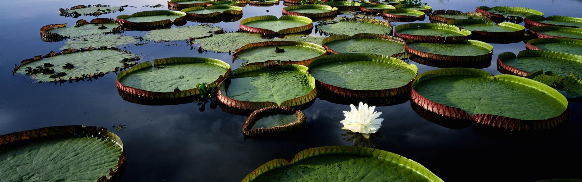 Lilly pads floating on lake