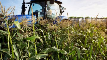 Sweetcorn harvesting with tractor and trailor