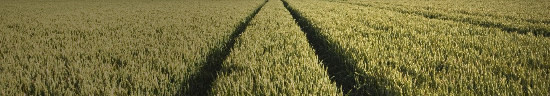 Wheat field representing a grid