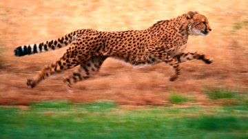 Cheetah running at top acceleration
