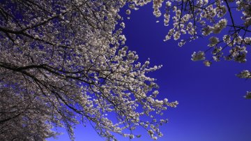View looking up at a tree in bloom